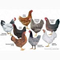 Суточный цыпленок Доминанта