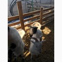 Продам молодых козлят