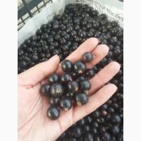 Продам ягоду чорної смородини