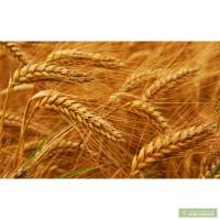 Покупаем пшеницу 2 класс