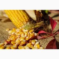 Пропонуємо якісне насіння кукурудзи: Вакула, Яніс, Онікс
