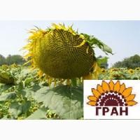 Науково-виробнича фірма «ГРАН» пропонує посівний матеріал гібрида соняшника «Жалон Гранд»
