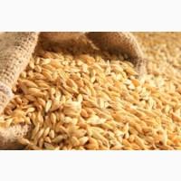 Продам посевной материал озимой пшеницы Грация элита