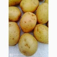 Продам насінневу картоплю суперраннього сорту Мінерва