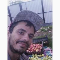 Продам яблоко оптом Антоновка.(Садовое)ЭКО