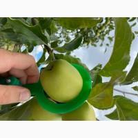 Продам Яблуко Сілеста