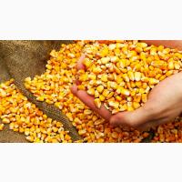 Купляємо кукурудзу