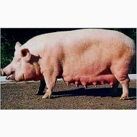 Кулю свиноматки на забой. Худих тоже
