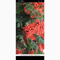 Купим свежие ягоды Красной Рябины.Дорого.В Днепропетровской обл