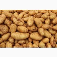 Покупаем картошку семеную та харчову