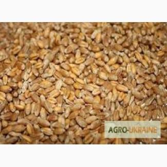 Куплю пшеницу и ячмень по Черниговской и Сумской обл, Черниговская ... beebb72976a