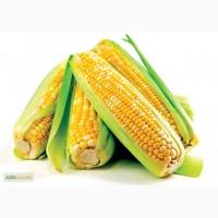 Гибрид кукурузы Ghost (Канада)