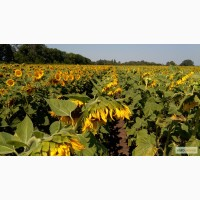 Подсолнечник под евролайтнинг Рими (экстра) урожай 2017