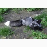 Продаю щенков песца и серебристо-черной лисы