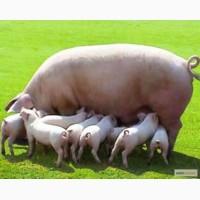 Свині(поросята)