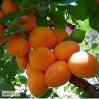 Садженці абрикоса