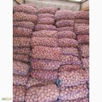 Продам картофель Белла росса славянка, аладин, пикассо, чёрный принц