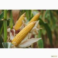 Насіння кукурудзи Гран 310 (ФАО 250)