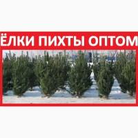 ᐉ 100% ПИХТЫ Оптом Ёлки Живые! Купить Новогоднюю Ель Продажа Сосна Цена Новосибирск