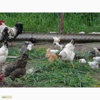 Яйцо кур экологически чистое свободного выпаса