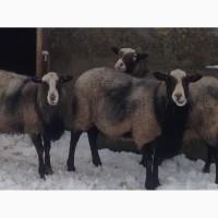 Продам годовалых баранов Романовской породы вес 40-50кг