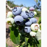 Продам сочные свежие ягоды голубика ежевики