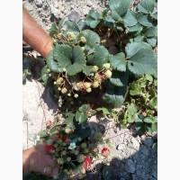Продам саджанці земклуніки, полуниці, різних сортів малини та смородини