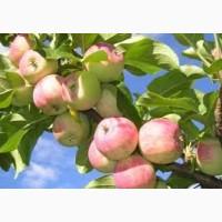 Продам яблока Слава Победителя