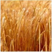 Насіння Себастьян - сорт зернового і пивоварного ярого ячменю, 1 репр