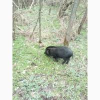 Продам свиноматку ветнамскую