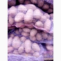 Продам картошку Білорусія РЕД ЛЕДИ ЯКІСТЬ СУПЕР