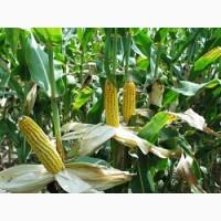 Насіння кукурудзи гібрид Амарок 290