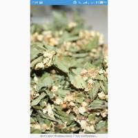 Закупаем цвет боярышника(с листом)высушиный, цвет бузины, липы