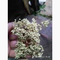 Закупаем цвет бузины и липы сухой.Крупный и мелкий опт