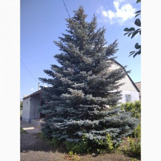 Продам голубую ель 8 м высота, ширина 5м. 25 лет