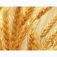 Продам посевной материал озимой пшеницы Краснодарская 99 (элита)