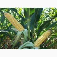 Купляємо подрібнену та відходи кукурудзи, від 20 тонн