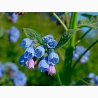 Живокост/Окопник (растение с открытой корневой системой) 15 грн