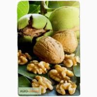 Саженцы грецкого ореха сорт Прикарпатский привитый