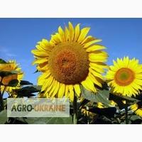 Семена подсолнечника: Ясон, Форвард, Оскол