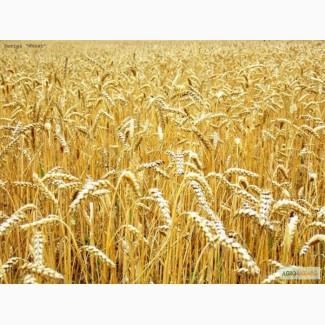Продам пшеницу 3 класс, Скаген, 2 репродукция, Черниговская обл