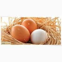 Куплю курячі яйця оптом на експорт