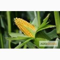 Моника 350МВ гибрид кукурузы