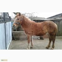 Продається молода (4 роки), спокійна, тягова кобила