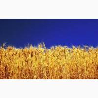 Купим пшеницу 2-фураж