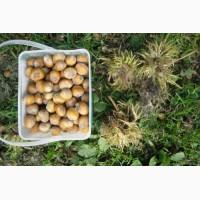 Посевной Медвежий орех(Corylus colurna)
