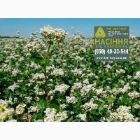 Семена гречихи Дикуль, урожай 2017 года от компании Дер Трей