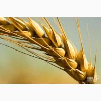 Семена пшеницы Канадский трансгенный сорт мягкой двуручки OSHAWA