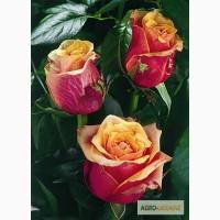 Продам оптом сажeнцы роз по 15гр.цене и плодовых деревьев 20-25гр