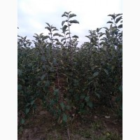 ПП Українське яблуко продасть саджанці яблуні на М9 Вільямс Прайд імунний сорт, Віста Бела